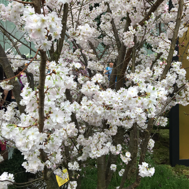 dont miss it the exhibition is only opened till 27 march it is a rare chance to be able to see so many varities of sakura in